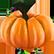:TWIT_pumpkin: