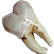 :the_tooth: