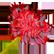 :spiderlily: