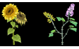 Sunflower & Lilac