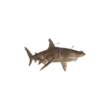 Copper_ Shark _Skins